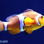 Clownfisch Oceanario Lissabon