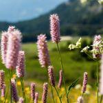 Lila Blumen Seiser Alm