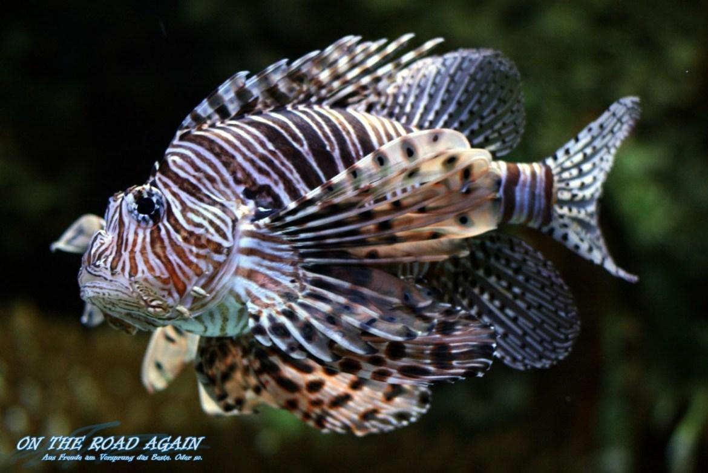 Lion Fish im Oceanario Lissabon