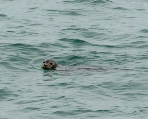 Niedliche Robbe im St. Lorenz Strom, Kanada