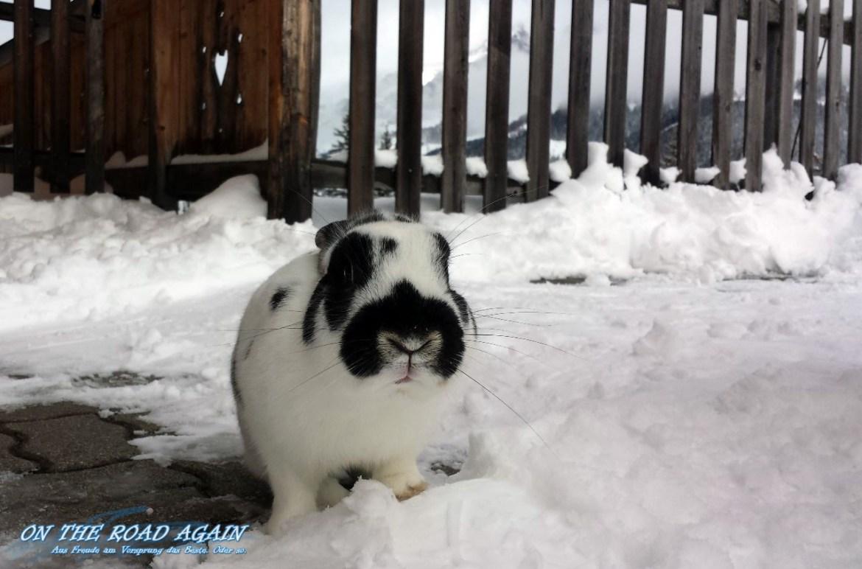 Schneehase auf der Alm