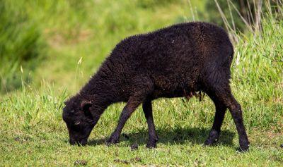 Schwarzes Schaf in Nordfrankreich