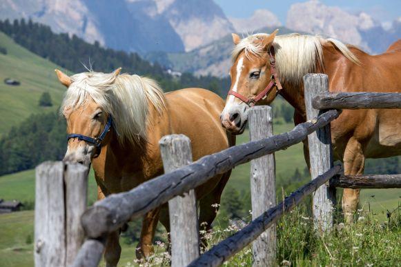 Haflinger Pferde auf der Seiser Alm
