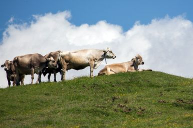 Kühe auf der Seiser Alm