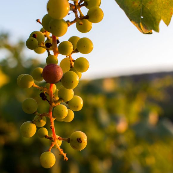 Weintrauben auf Korcula, Kroatien