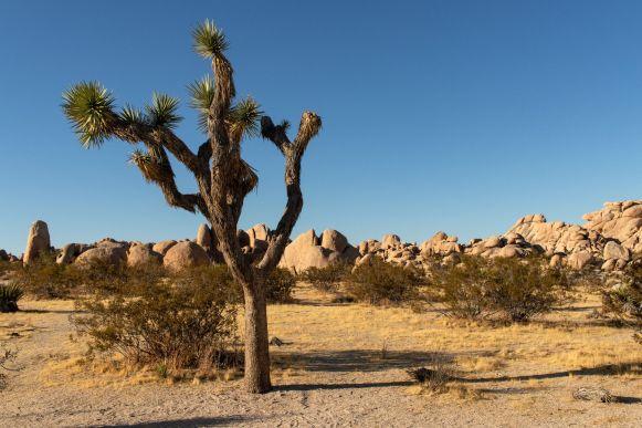 Joshua Tree im Nationalpark, Kalifornien